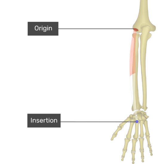 Anatomical Position Proximal And Distal