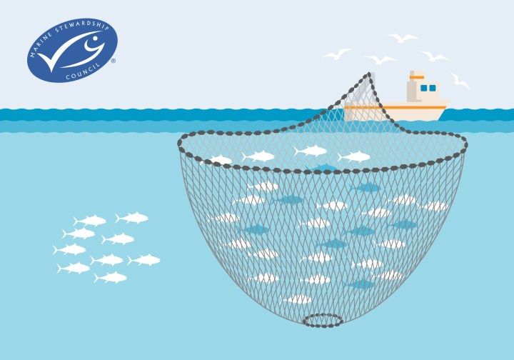 Purse Seine fishing at it's impact on marine life and their ecosystems. Purse Seine fishing can be a sustainable fishing method if monitored.