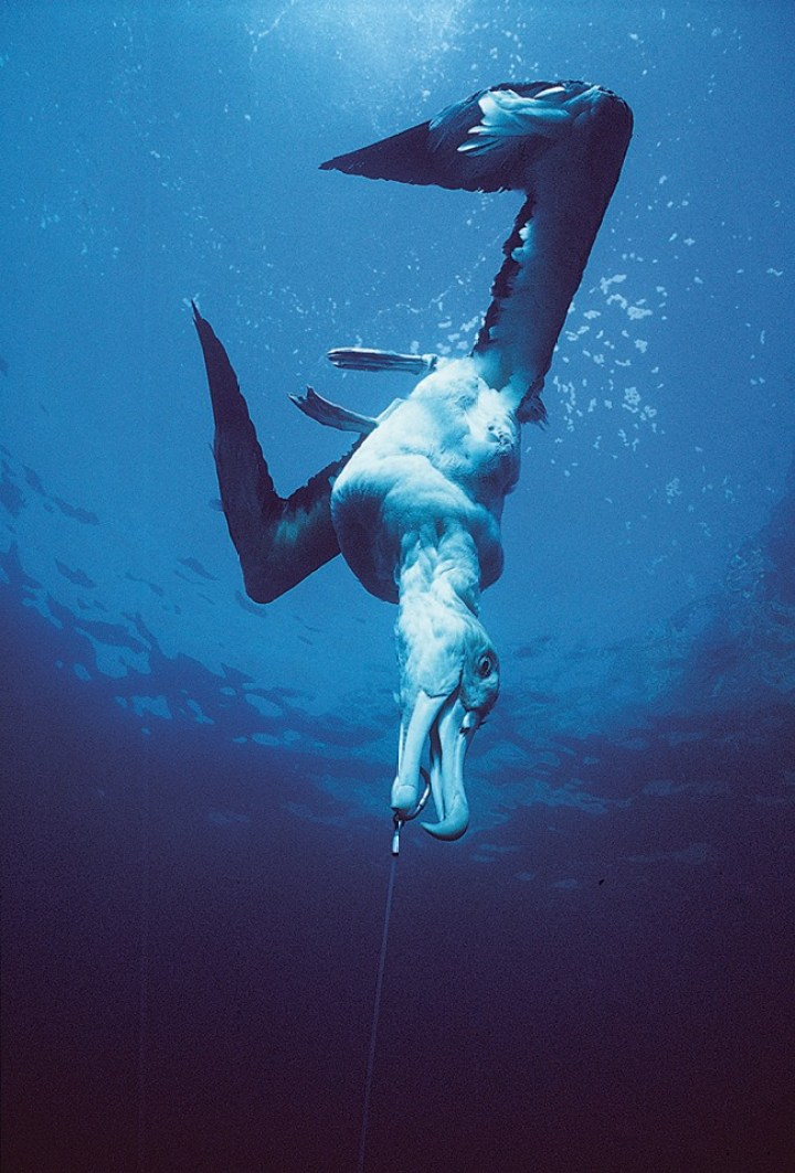 Longline fishing results in seabird bycatch (albatross pictured) and is not a sustainable fishing method.