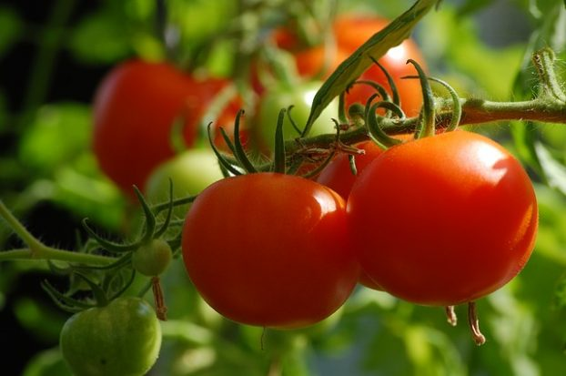 growing-tomatoes-home