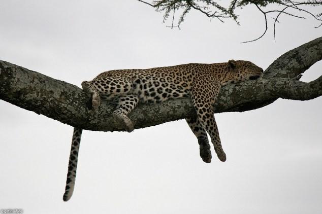 leopard_4f