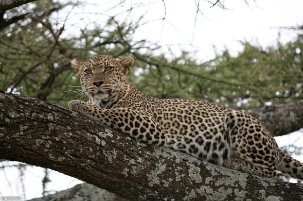 leopard_8f