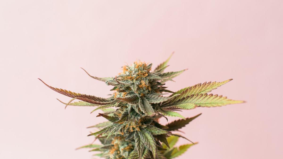 Cannabis flower pink background