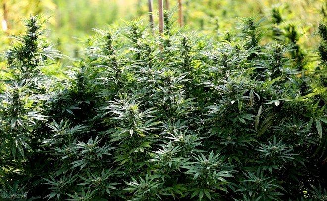 where does Marijuana grow wild? Feral cannabis and Marijuana Legalization