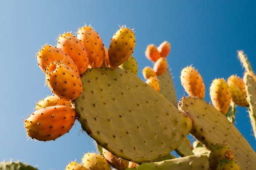 Virgin Organic Prickly Pear Seed Oil