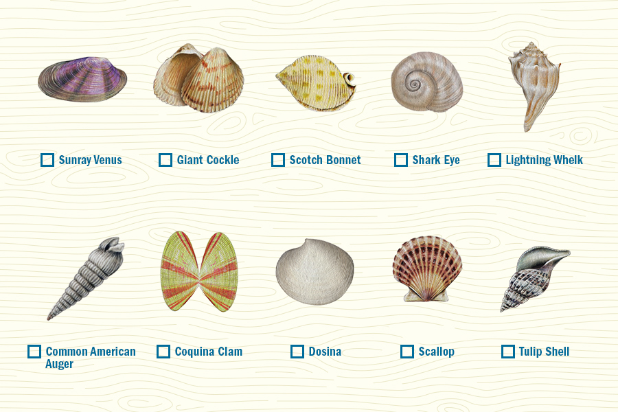 Guide To Navarre Seashells Navarre Beach Florida S Most Relaxing Place