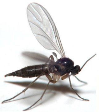 fungus gnat. 30 Ways to Get Rid of Gnats Inside and Outside the House