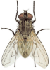 house-fly-lifespan