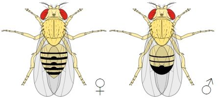 Male-VS-Female-FruitFly-Comparison