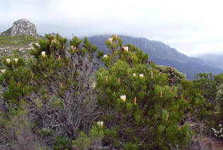 Proteas of Southern Africa