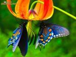 gardening, blue butterflies on orange flower