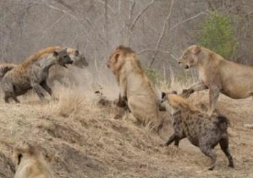 WSL 2017 : אריות נמרים וצבועים