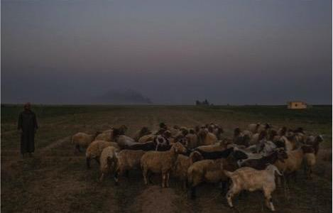 ISIS arrests sheep shepherds and confiscates their herds in the countryside of Deir Ezzor