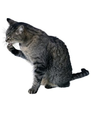 """Cat Magnet or Sticker for Indoor or Outdoor Use 6"""" x 5.5"""""""