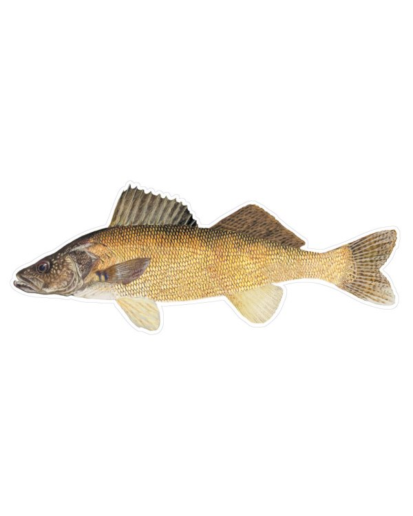 "Walleye Magnet or Sticker for Indoor or Outdoor Use 9"" x 3.6"""