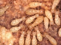 مكافحة ورش النمل الابيض بحائل