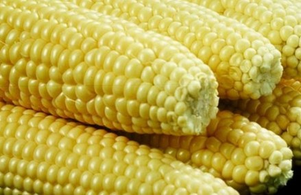 WACCI to release three new varieties of maize