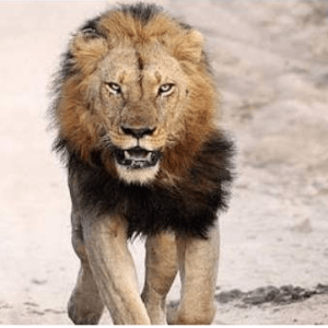 Lion Escapes From Zoo In Nigeria
