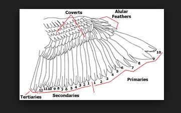 Crow feather anatomy