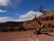 An artsy tree in Capitol Reef NP.