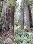 A group of massive tree trunks in Jedediah Smith Redwoods State Park.