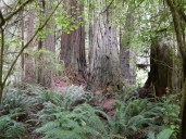 Yet another grove of massive redwood trunks at Jedediah Smith Redwoods State Park.