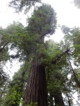 It's hard to capture an entire redwood at Jedediah Smith Redwoods State Park.