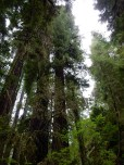 Yet another attempt to capture an entire redwood in a single frame. I need a wider angle lens.