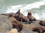 A closeup of sea lions on the coastal rocks south of Heceta Head Lighthouse State Park.