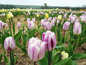 fioriranno 2018 tulip arab