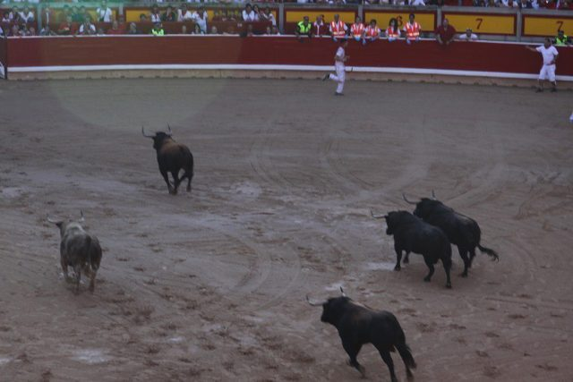 Bulls in the arena