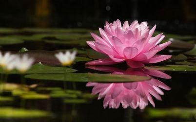 Significato Loto - significato dei fiori - Conoscere il ...