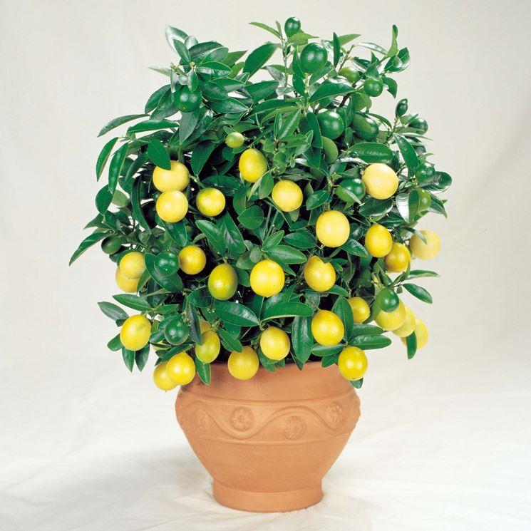 Potatura Limoni In Vaso Potatura Come Potare I Limoni