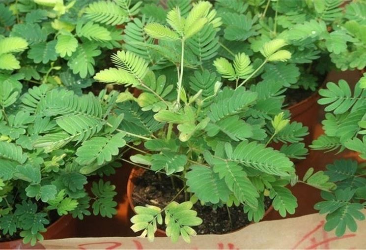 Mimosa Pudica Cura Piante Da Giardino Mimosa Pudica Come