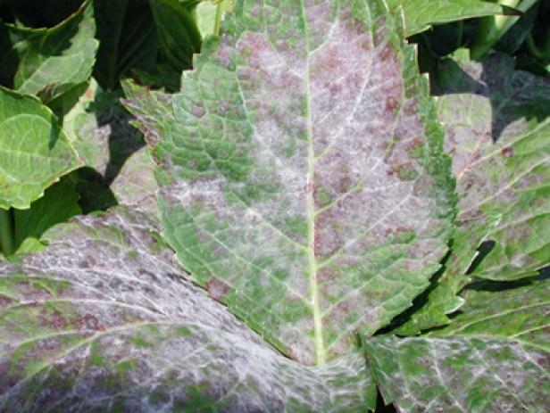 fungo che si presenta con macchie biancastre a forma di stella sul retro delle foglie