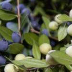 Il mirto, coltivazione e caratteristiche