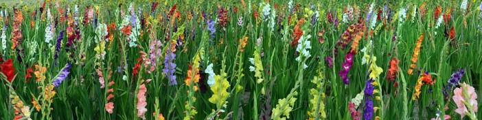 mantenimento-dei-gladioli