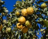 Come coltivare il limone in vaso?