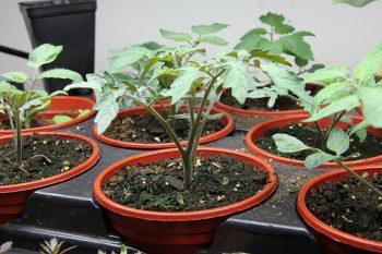Come coltivare i pomodori in vaso mini guida di for Concime per pomodori
