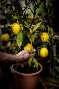 Lemons at Gibson's Organic Liqueurs