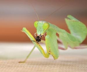 A praying mantis enjoying a fly