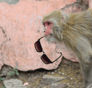 islands monkey steals sunglasses