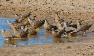 Sandgrouse at a watering hole