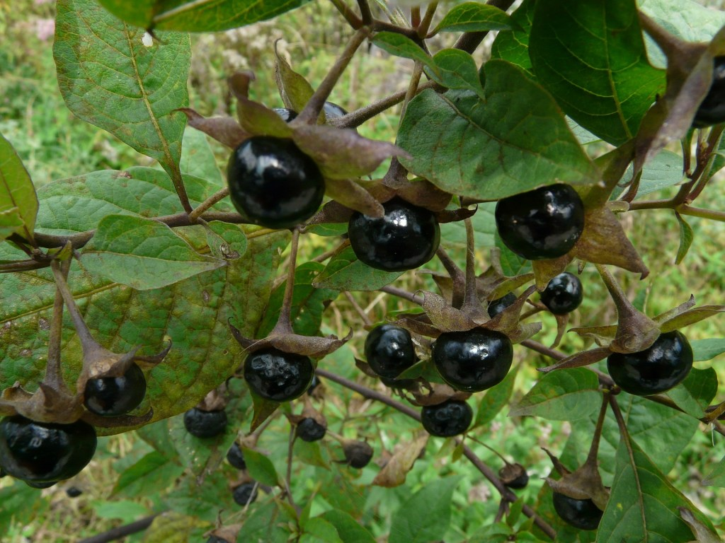 The most famous poisonous plant, deadly nightshade (or belladonna) was a favorite for assassinations.