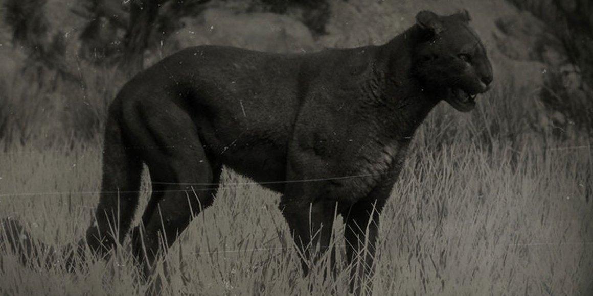 legendary cougar