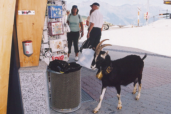 B&W Swiss goat on Eiger Trail