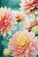 close-up of orange dahlias