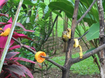 Vögel im Garten Volcano Lodge Springs Costa Rica www.gindeslebens.com