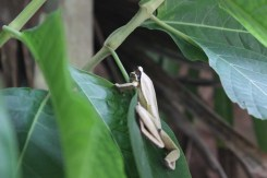Frosch Cariblue Karibikküste Costa Rica www.gindeslebens.com