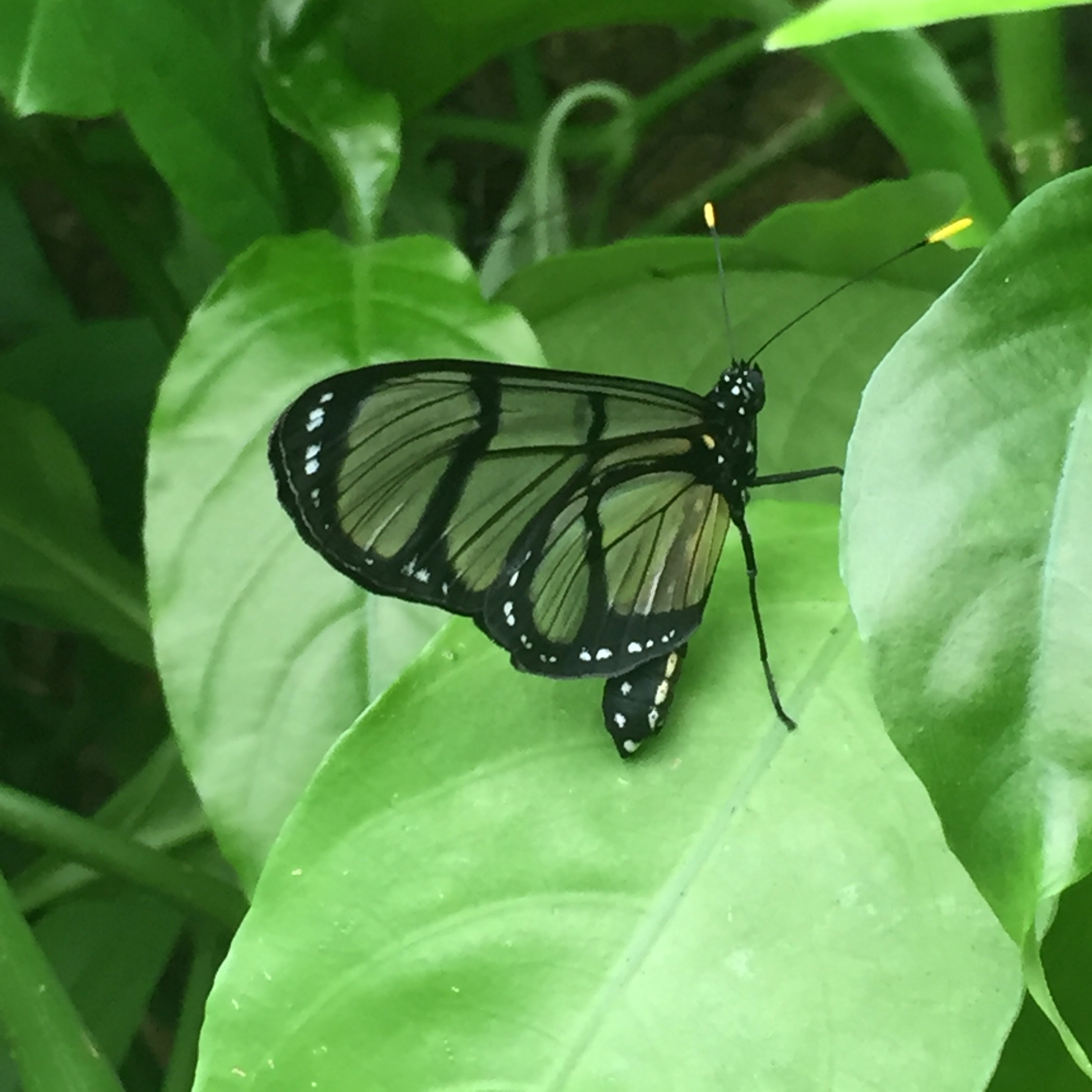 butterfly glasswing Miami Fairchild Garden